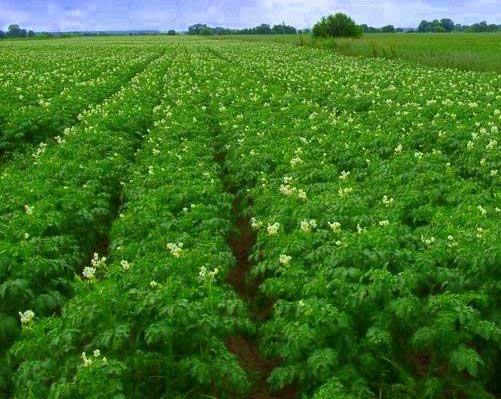 уход-за-картофелем