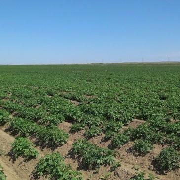 картофельное поле в Караганде -ТОО ≪Шерубай Су≫