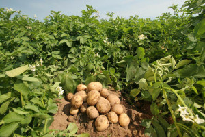 potato3-ori